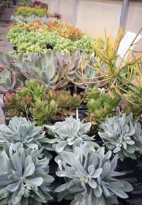 Temperate Succulents
